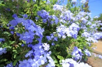1blueflower